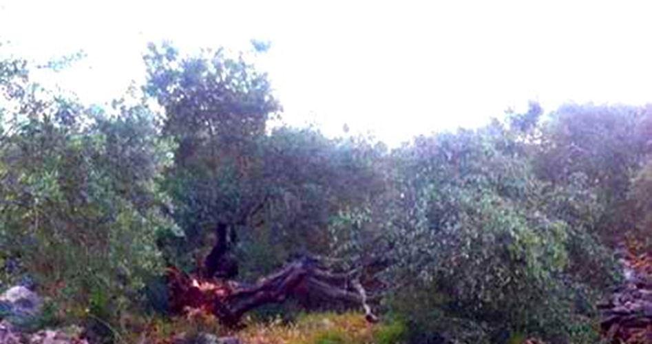 Ainoun trees